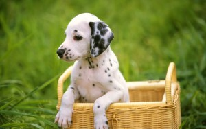 Dalmatians-Dogs_Perros-Dalmatas_Wallpapers_01